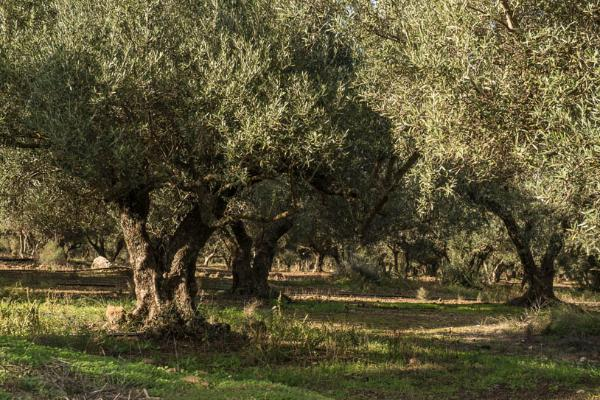 Visit The World's Oldest Olive Trees