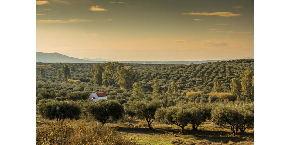 The Olive Tree To The Ancient Greeks
