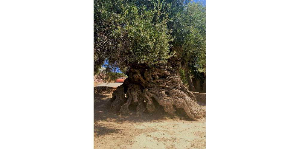 ARTEMISIA ESTATES OLIVE GROVES AND OLIVE OIL
