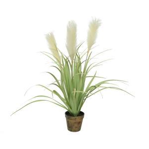 Φυτό Parmas σε πλαστική γλάστρα